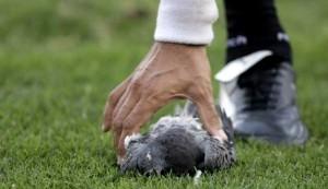 Un-joueur-argentin-tue-un-pigeon-sur-le-terrain