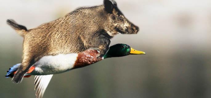 Insolite la photo d un sanglier sur le dos d un canard fait le buzz sur la toile sud ou est - Comment cuisiner le canard entier ...